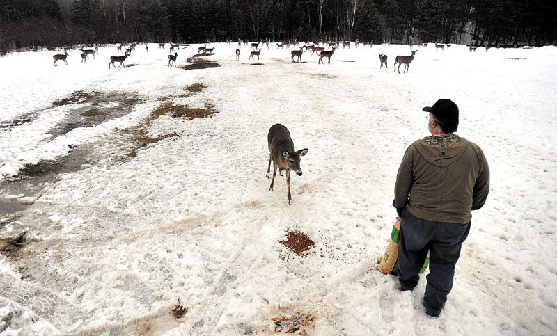 Gordon Berry walks through the ball fields dispersing a bag of deer feed for a herd of hungry deer in West Forks recently.