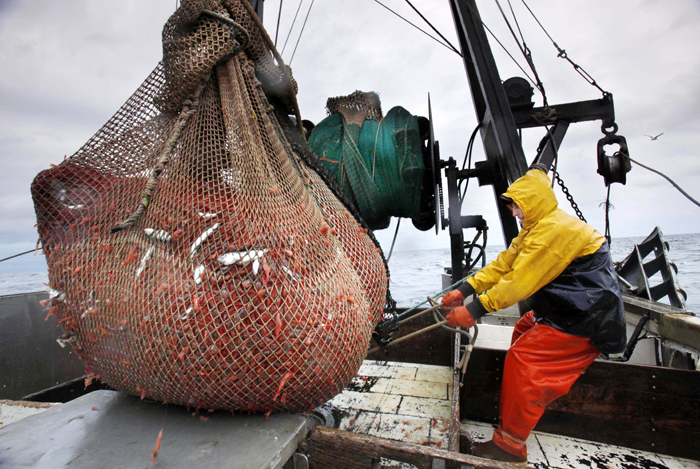 In this Friday, Jan. 6 photo, James Rich maneuvers a bulging net full of northern shrimp caught in the Gulf of Maine. (AP Photo/Robert F. Bukaty)