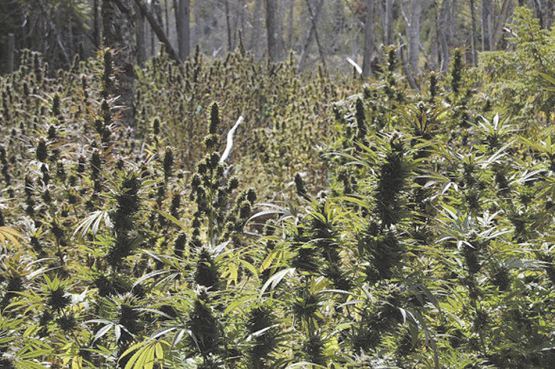 Five people and a Maine timber company have been indicted on federal charges for their connection with a large marijuana growing operation that was uncovered in Washington County in 2009.