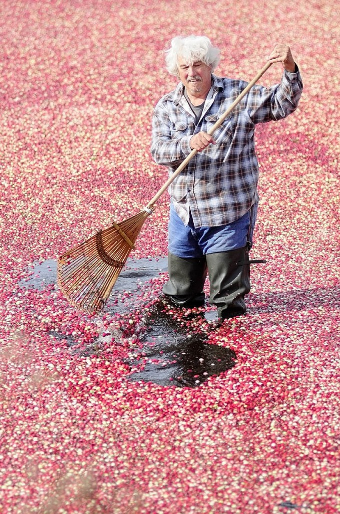 Jimmy Smith rakes cranberries on Tuesday afternoon at Popp Farm in Dresden.