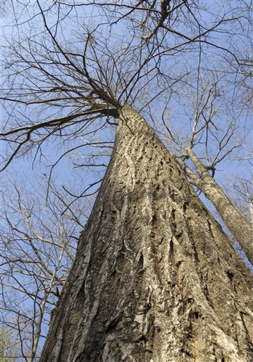 A 95-foot American chestnut tree stands in the forest in Hebron.