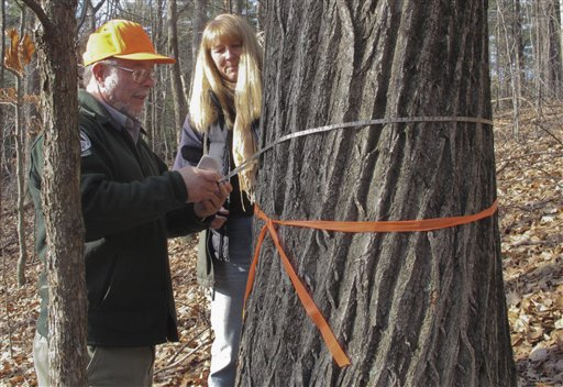 Maine Forest Service forester Merle Ring, left, and Michele Windsor, right, of the Oxford County Soil and Water Conservation District, measure the diameter of what's believed to be the tallest American chestnut tree in the East.