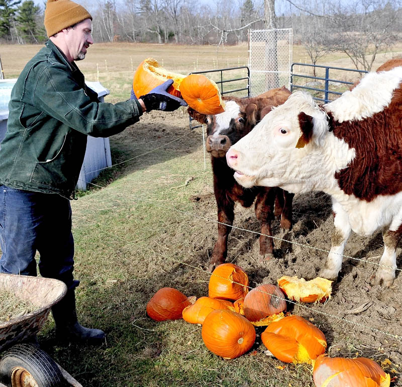 John Couture feeds leftover Halloween pumpkins to his cattle at his farm in Benton on Tuesday.