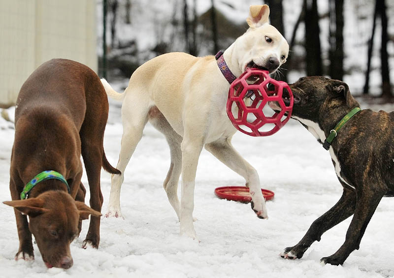Littermates Meta, left, Sierra and Hoot play on Wednesday at K9 Cabin Dog Day Care in Augusta.
