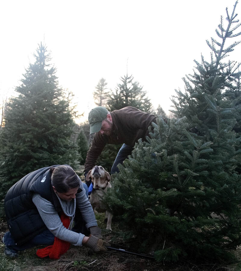 Ashley Hamilton-Ellis fells a 10-year-old balsam fir earlier this month at Bradbury's Christmas Trees in South China, while husband, Pat Ellis, and dog, Gracie, look on. The couple has been cutting their own trees at the farm for four years.