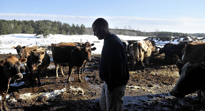Barrett Russell, 22, walks among the nearly 50 dairy cows at his family's dairy farm on Garland Road in Winslow Thursday.