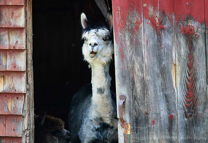 A llama pokes its head out of a barn at Bessie's Farm Goods in Freeport on Maine Open Farm Day, an annual event held Sunday. The two women proprietors savor the chance to talk to customers.