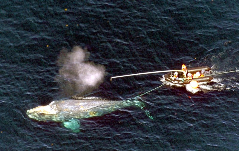 Scientists approach a North Atlantic right whale entangled in marine rope about 80 miles east of Provincetown, Mass., in 2001. The attempt to free the big mammal was unsuccessful.