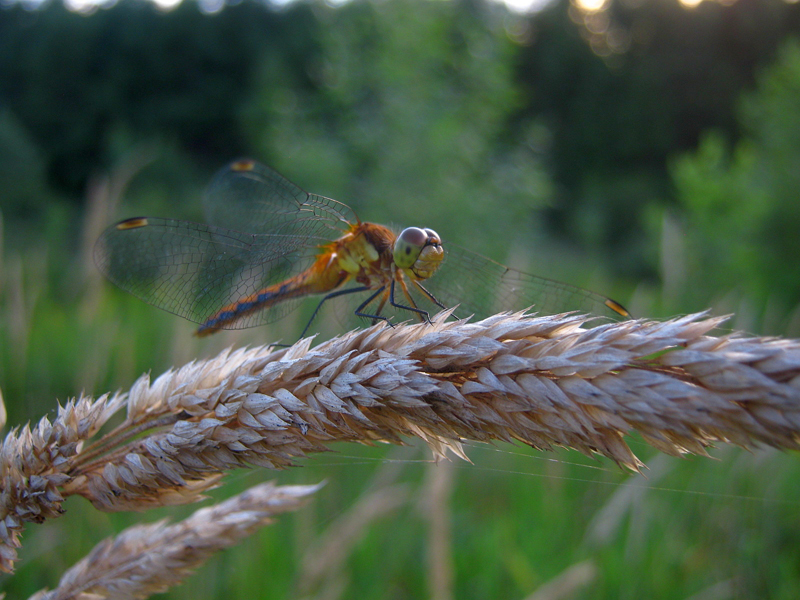 A meadowhawk dragonfly, of the skimmer family.