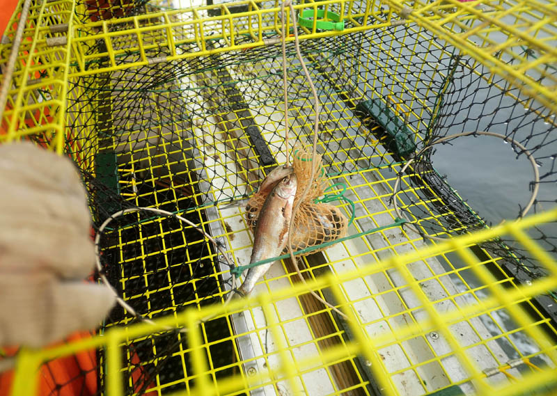 Carl Hayse, 18, baits a lobster trap with alewives while fishing for lobster on July 24 near Friendship Harbor.