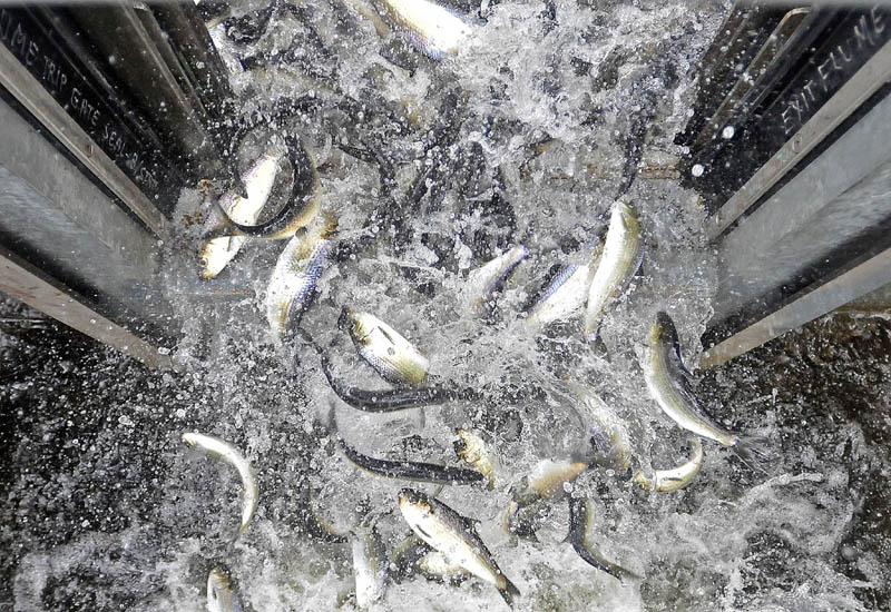 Alewives pour out of the elevator at the top of the Benton Falls Dam on the Sabasticook Stream on May 9. Alewife fishing can't begin until 250,000 fish have made it over the dam for spawning.