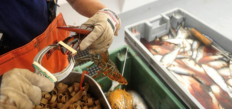 Carl Hayes, 18, robber bands live lobsters after separating the keepers from the throwback lobsters, while fishing between Allen's Island and Mosquito Rock on July 24.
