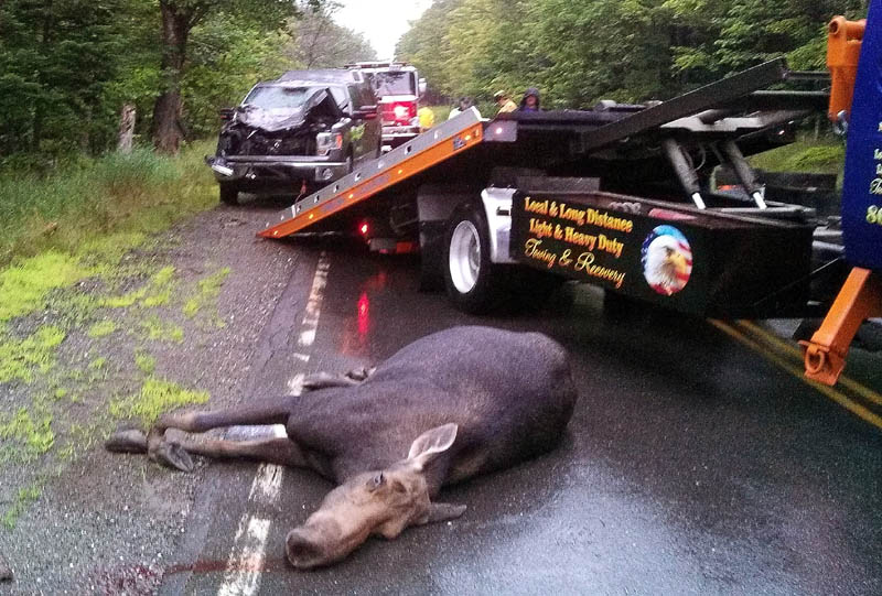 A moose was killed and a pickup truck was destroyed in a collision Thursday on Route 4 in Sandy River Plantation. The accident was one of five moose-vehicle collisions last week in northern Franklin County.