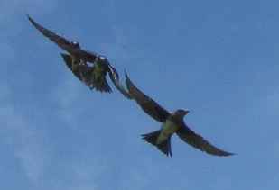 A trinity of purple martins at the Unity Field of Dreams.