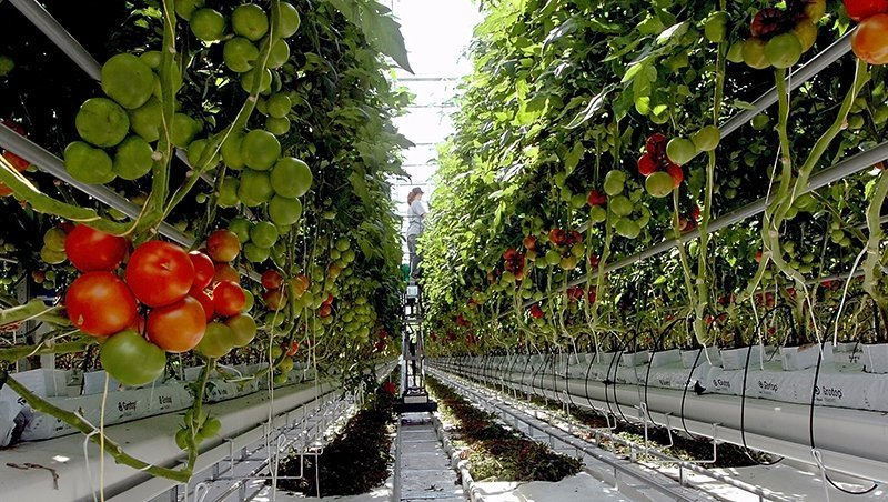 Tomatoes ripen inside a greenhouse at Backyard Farms in Madison. The company rejected its latest crop of 420,000 seedlings because of unspecified quality concerns. Earlier this summer, an infestation of whiteflies cost it its first crop.