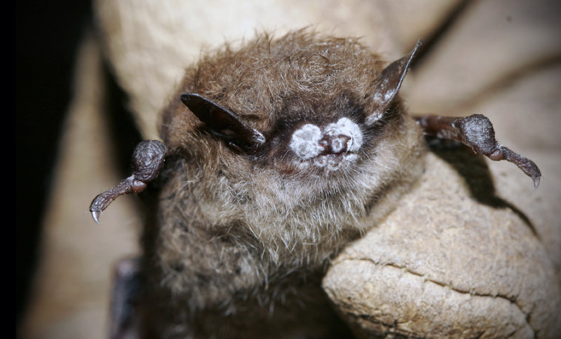 A brown bat with white nose syndrome is shown above. The fungal infection has killed more than 5.5 million bats in eastern North America since it was first detected in upstate New York in 2006. Researches are investigating various ways to prevent the spread of the disease.