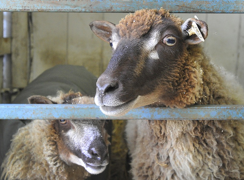 Maggie, right, and her daughter Grace are Shetland sheep at the Cumberland Fairgrounds for the county fair, which starts Sunday.