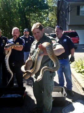 In this photo provided by the Public Information Office in Brookhaven, N.Y., Michael Ralbovsky, center, who is a herpetologist at the Rainforest Reptile Show, displays one of two Burmese Pythons from the home of Richard Parinello in Shirley, N.Y.