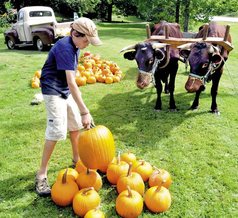 Gil Whitehead unloads pumpkins his family is selling as his oxen, Star and Red, watch after hauling the gourds in a wagon to the front of the Winterberry farm in Belgrade today.