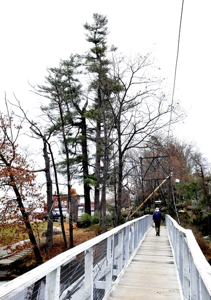 BIG OLD TREES: Rot inside a large pine tree that fell near Skowhegan's Swinging Bridge on Sunday may indicate that other nearby trees are in a similar condition.