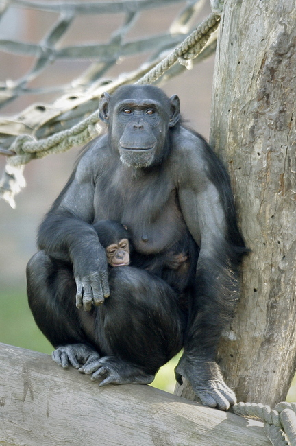 A baby chimpanzee clings to his mother Sacha at Sydney's Taronga Zoo.