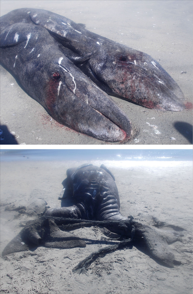 These photos released by Mexico's National Natural Protected Areas Commission shows the front side of two conjoined gray whale calves' caracasses, and bottom, the back side of the carcasses, on a beach in the Ojo de Liebre lagoon, near the town of Guerrero Negro in the Baja Peninsula, Mexico.