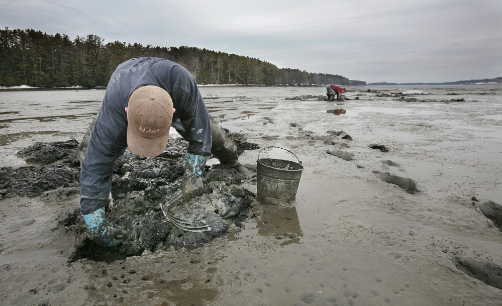 Adam Morse digs for clams on a flat along the Harraseeket River in Freeport in this Tuesday, March 27, 2007 file photo. Clam diggers say a new bill is an effort to fight off a green crab invasion decimating clams, but worm diggers say it's about 'control of the mud.'