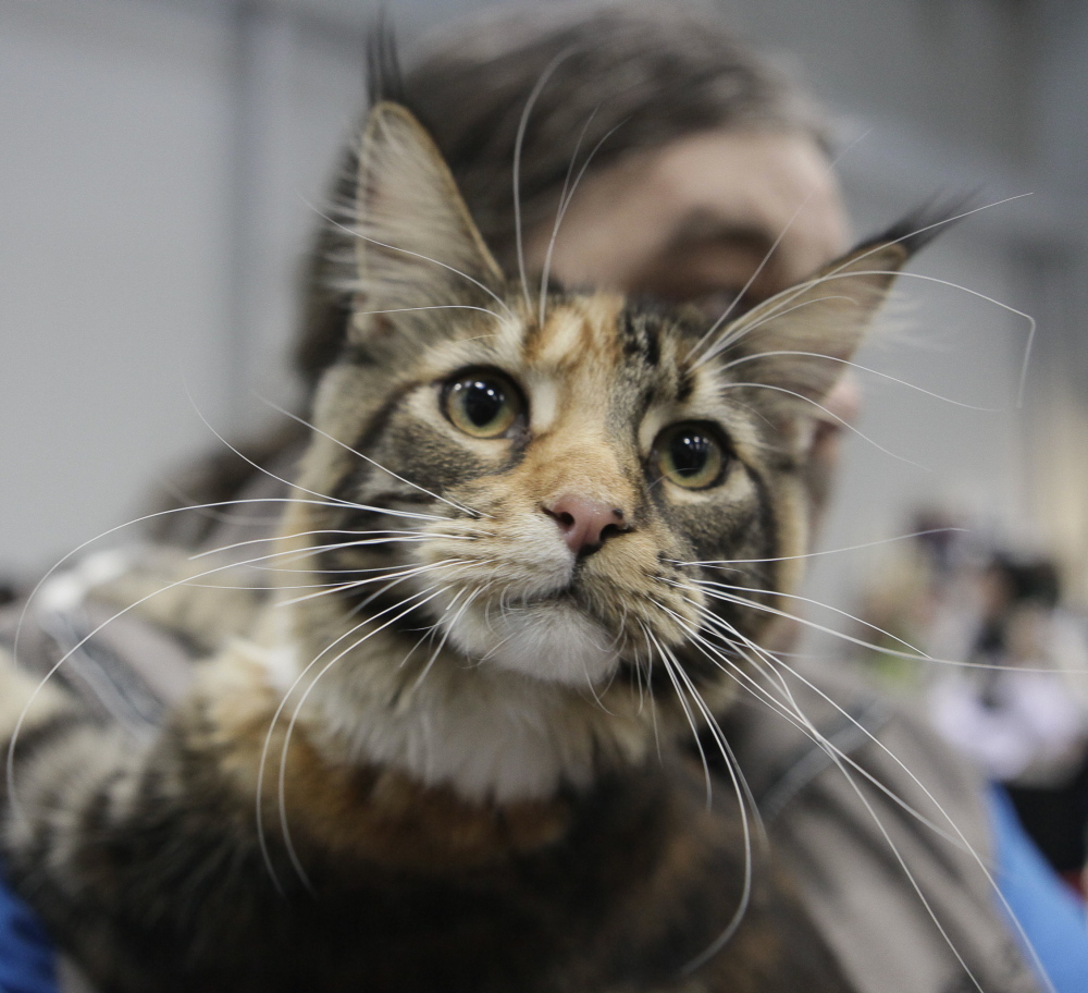 The fact that Maine has an official state cat – the Maine coon cat – helped boost the state's ranking for cat lovers.