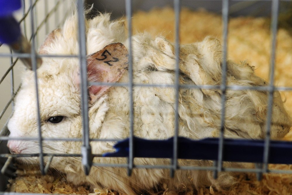 Recovering: This chinchilla, called either Matty or 52, is one of the rescued animals recently moved by Marianne Sansouci to her Augusta home.