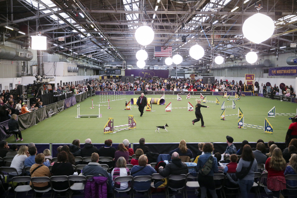 Spectators watch as Abbie, a rat terrier, and her handler Gayle Capen navigate the jumpers course during the Masters Agility Championship at Westminster staged at Pier 94, Saturday, in New York.