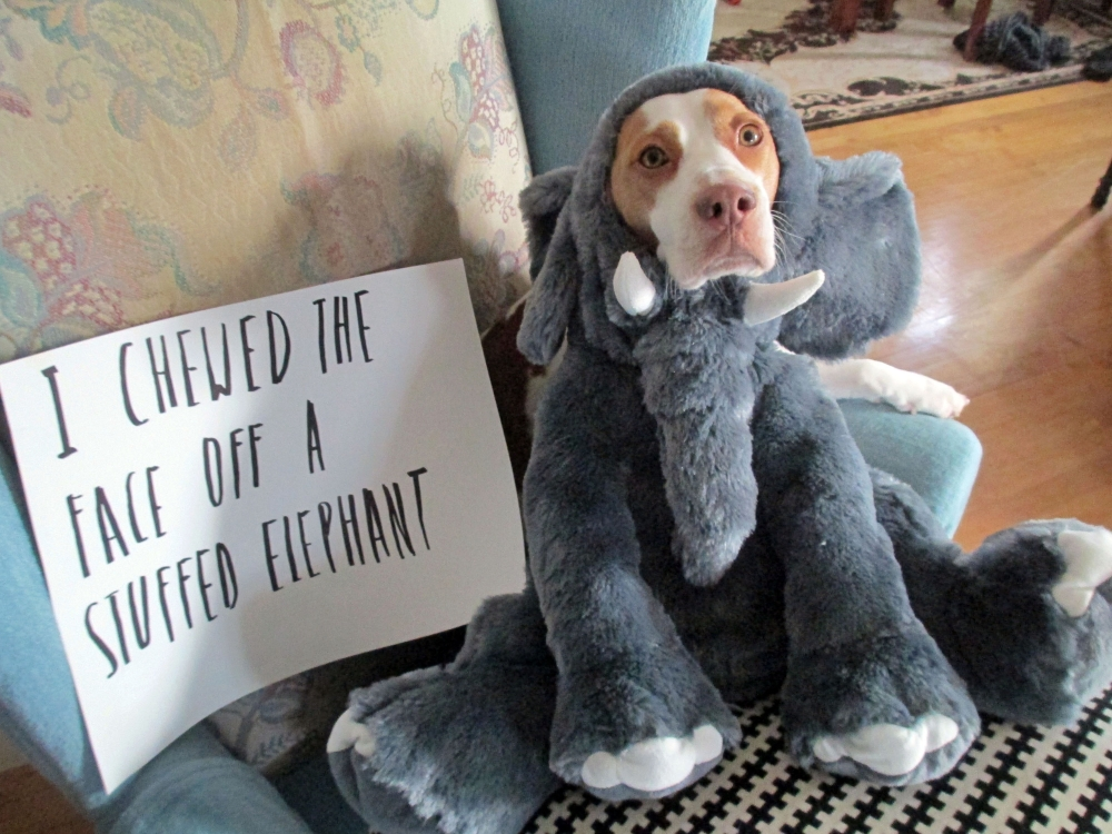 This Feb. 9, 2013 provided by Jeremy Lakaszcyck, shows Maymo a lemon beagle posing for a shame illustration in Merrimack Valley, Mass.
