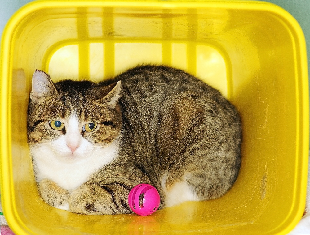 Banana, one of the cats in the Barn Buddies program, sits in a cage on Tuesday March 4, 2014 at Kennebec Valley Humane Society in Augusta.