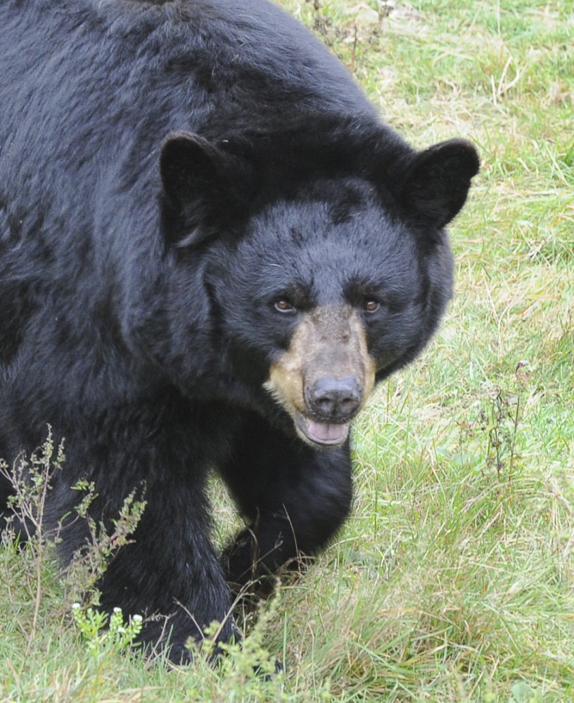 A referendum on Maine's bear-hunting methods goes to the voters again this year.