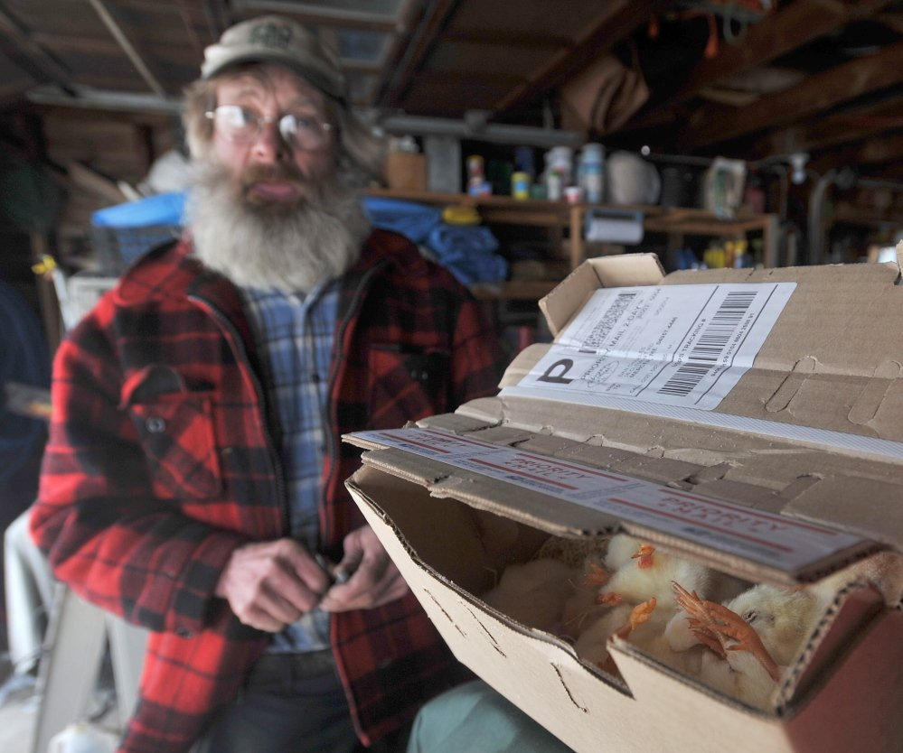 Too late: Dan Charles stands with a box of dead baby chicks on Friday that arrived a day late in the mail at his home in Mercer.