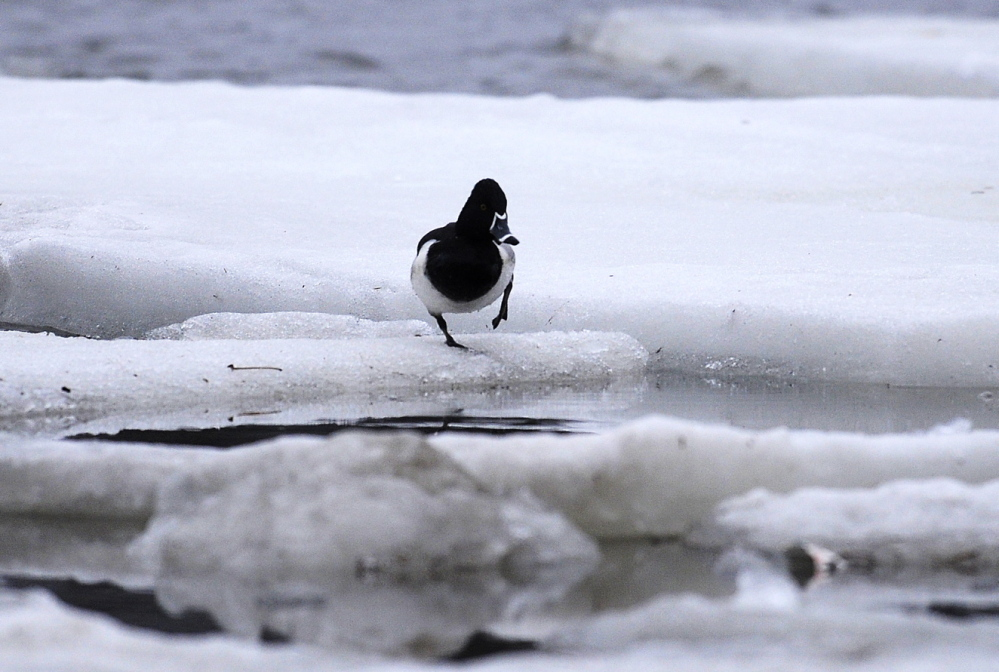 GOING WITH THE FLOW: A drake ring-necked duck climbs over ice Sunday to find open water on the Kennebec River in Gardiner. The river is flowing well below flood stage, according to the National Oceanic and Atmospheric Administration, and the Northeast River Forecast Center is forecasting neither a flood watch nor a flood warning for the river despite heavy rain Saturday and Sunday and a flood watch elsewhere. Flocks of diving ducks are flying north during the spring migration.