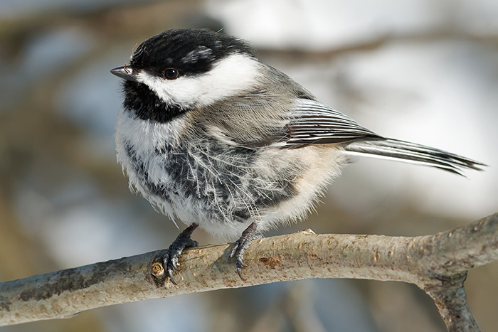 The black-capped chickadees inhabits northern North America, including Maine, up into Canada and all the way across to Alaska.