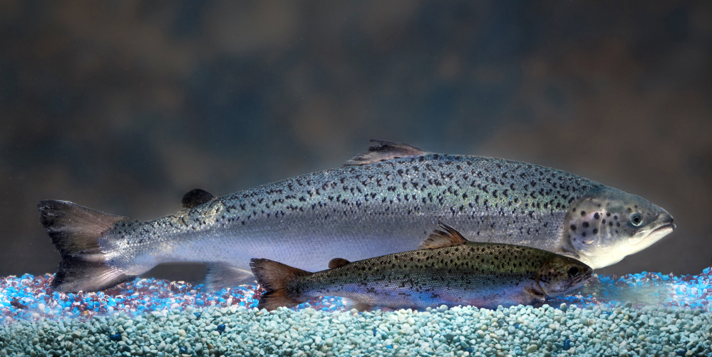 This undated handout photo provided by AquaBounty Technologies shows two same-age salmon, a genetically modified salmon, rear, and a non-genetically modified salmon, foreground.