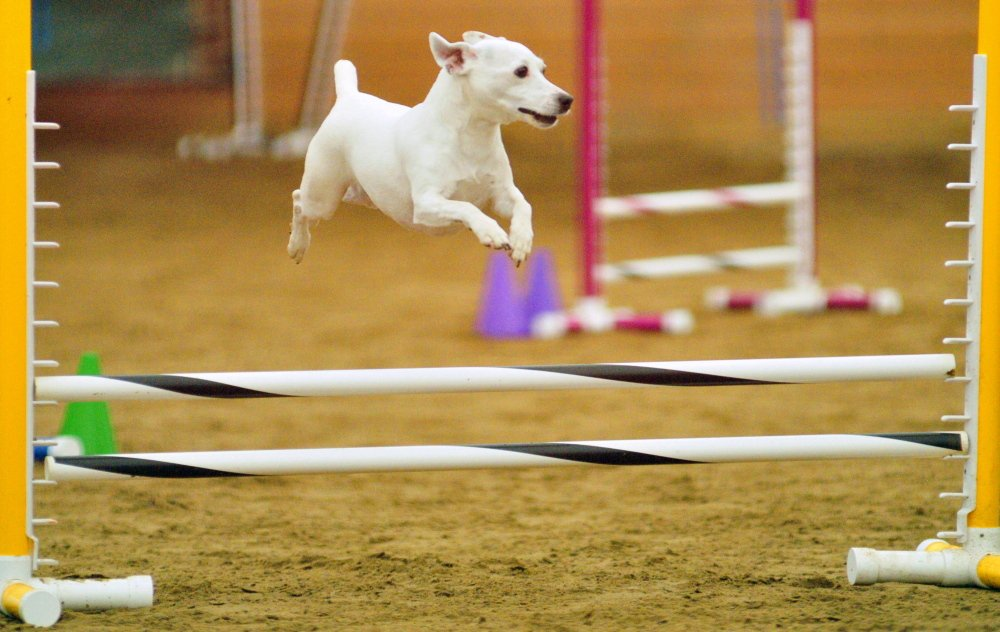 Looking Debonair in the Air: Dixie flies over a hurdle, encouraged by owner Michael Labriola, of Portland, during a dog agility contest Saturday in West Gardiner. Owners had to run their dogs through tunnels and over hurdles on the course as quickly as possible.