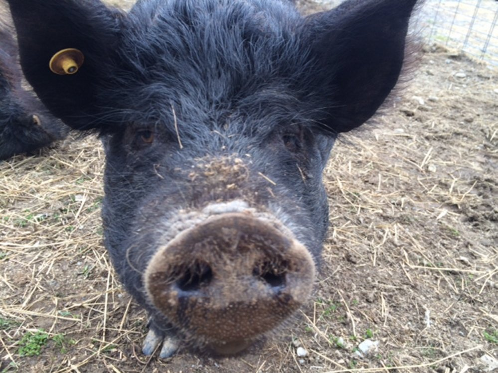 HOG: Luna, an American guinea hog, recently moved to Unity College, where efforts are underway to build a refuge for heritage breed animals. She is scheduled to have piglets on June 8.