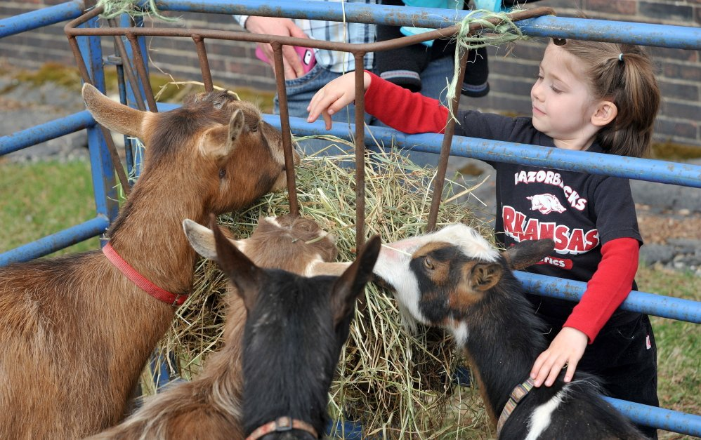 Gentle touch: Anna Billian, 3, of Farmington, pets the goats from Baroque Acres on show at the third annual Fiddlehead Festival in Farmington on Saturday.