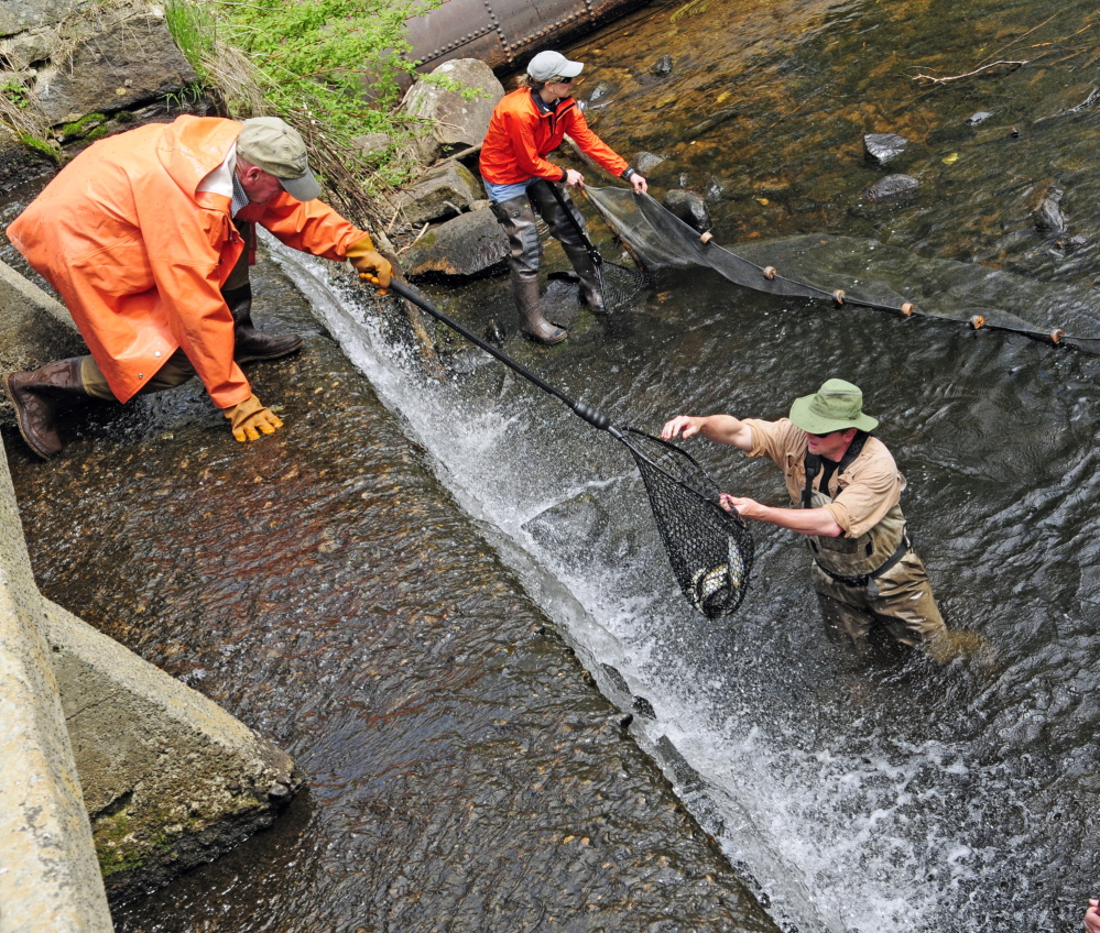 ALEWIVES RETURN: Slade Moore, bottom right, hands a net full of alewives up to Jerre Keller, top left, as Cindy Eurich holds a seine net to keep them corralled near the dam.