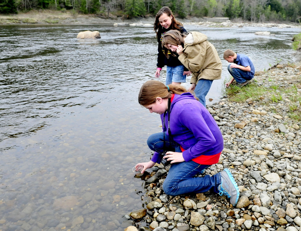 PLEASE RELEASE ME: Cornville Regional Charter School students release some of the 200 salmon fry into the Sandy river in Norridgewock on Thursday. From left are Lydia Dore, Billy Lightbody, Clara Jewell and Eli Solberg.