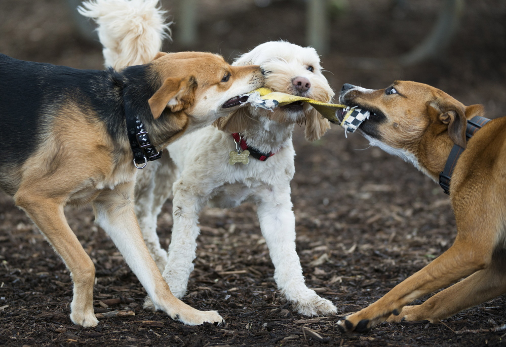 Three dogs play tug-of-war with a chew toy at a dog park in Arlington, Va.