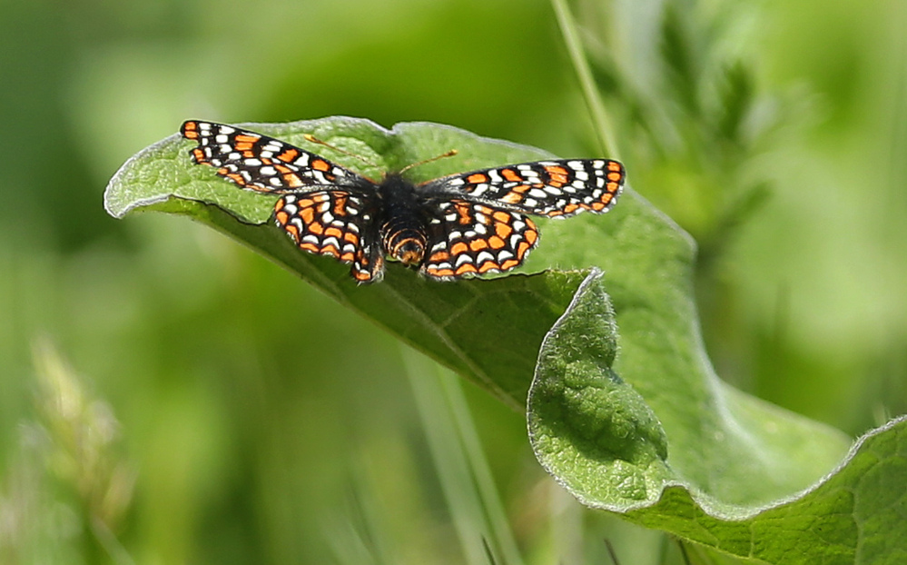 A Taylor's checkerspot rests on a leaf on a prairie area used for live-fire exercises at Joint Base Lewis McChord, Wash.