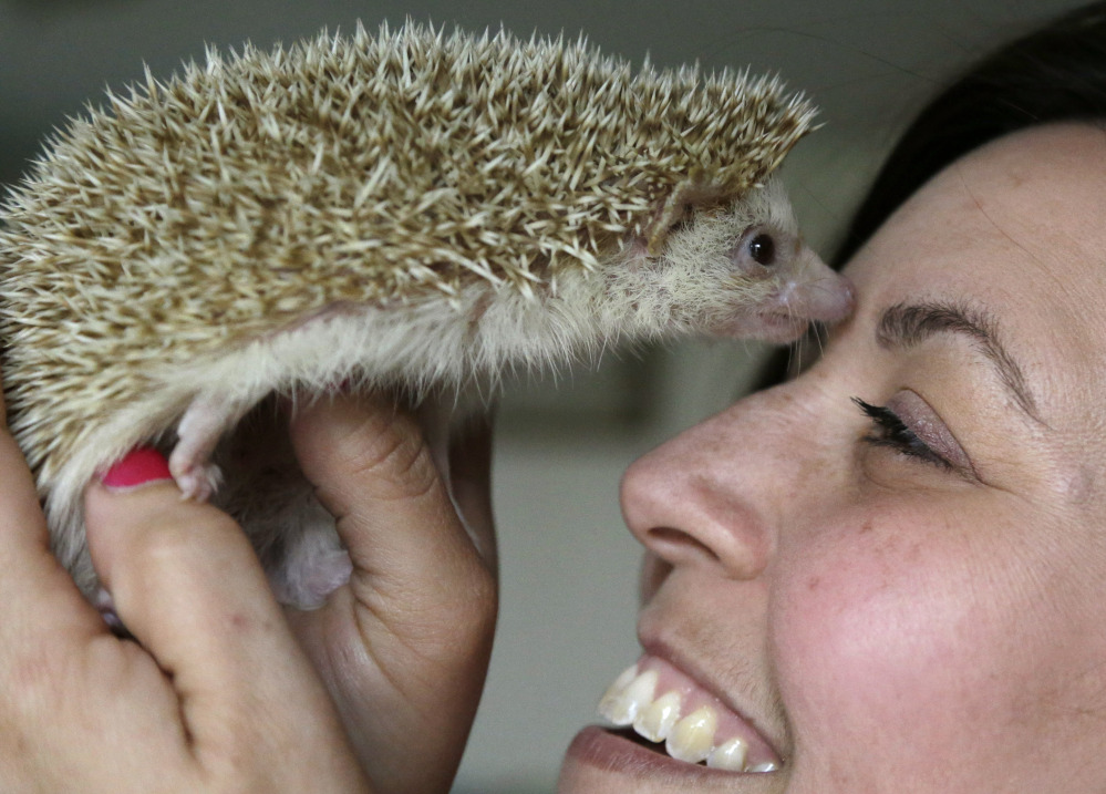 Hedgehog breeder and trainer Jennifer Crespo, of Gardner, Mass., holds Circus, a 1-year-old pet hedgehog, at her home. Nocturnal, and living primarily on insects in the wild, hedgehogs are increasingly becoming popular as household pets.