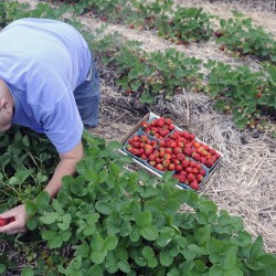 "Paul Castonguay picks strawberries Thursday at Stevenson's Strawberries in Wayne. Farmer Ford Stevenson said the fields opened Thursday and ""we're rocking and rolling."""