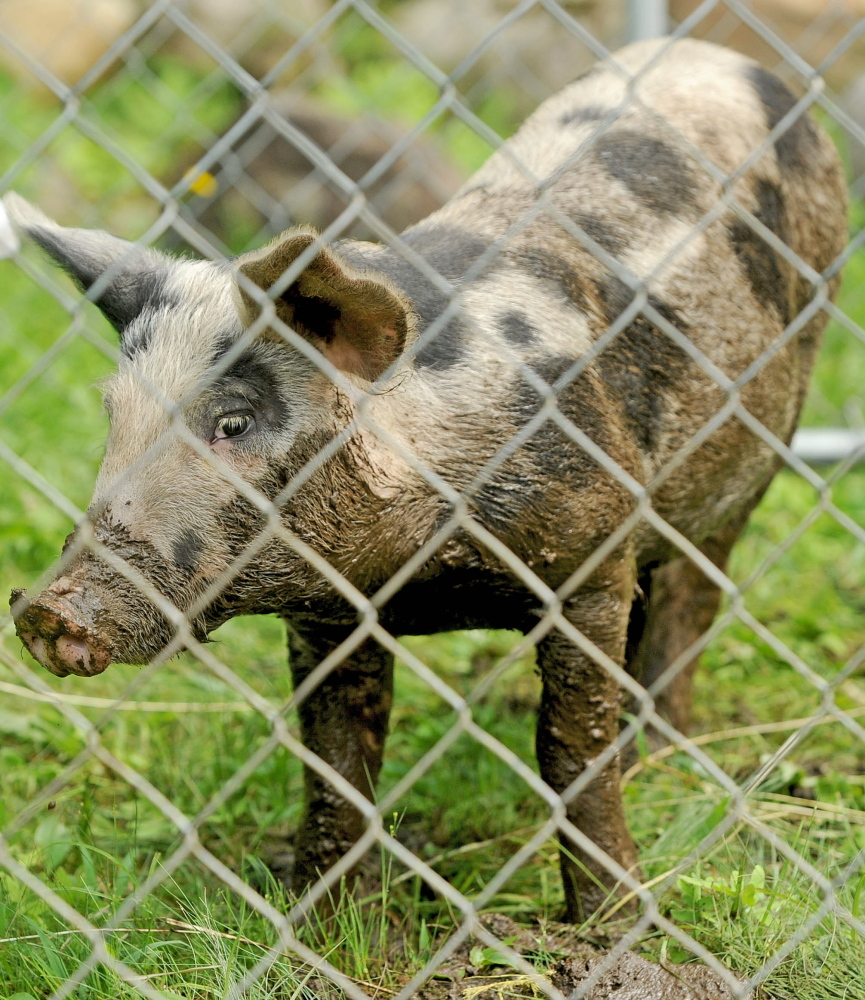 A four-month-old pig adjusts to captivity after eight weeks of roaming the Oakland area. The town animal control officer and an expert from the U.S. Department of Agriculture captured the animal Tuesday by using bait and a trap.