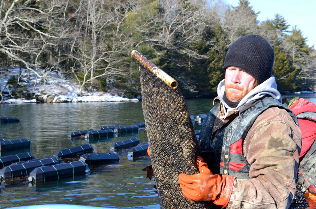 Nate Jones, who works for Mook Sea Farm, harvests bags of oysters from cages on the Damariscotta River in Maine on a bitter cold day this month. Tribune News Service
