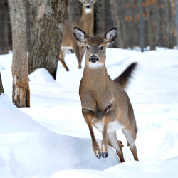Deer have dealt with a deep snowpack this winter, with records amounts falling across Maine and the Northeast. These white tails currently live at Maine Wildlife Park.