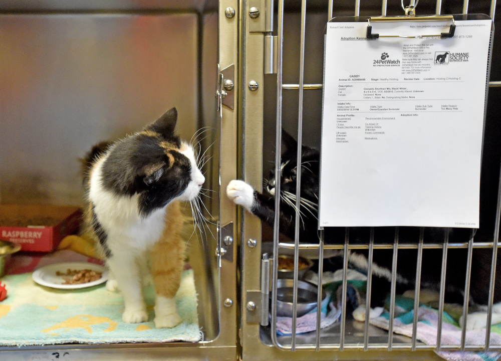 Two cats surrendered by a Clinton family, play with each other through their cages at the Humane Society Waterville Area on Webb Road in Waterville on Wednesday. The family surrendered 33 animals.